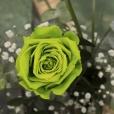 Rosa Individual Verde Esperanza