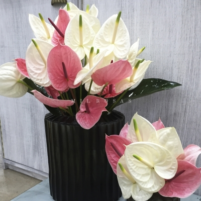 Chic Anthurium